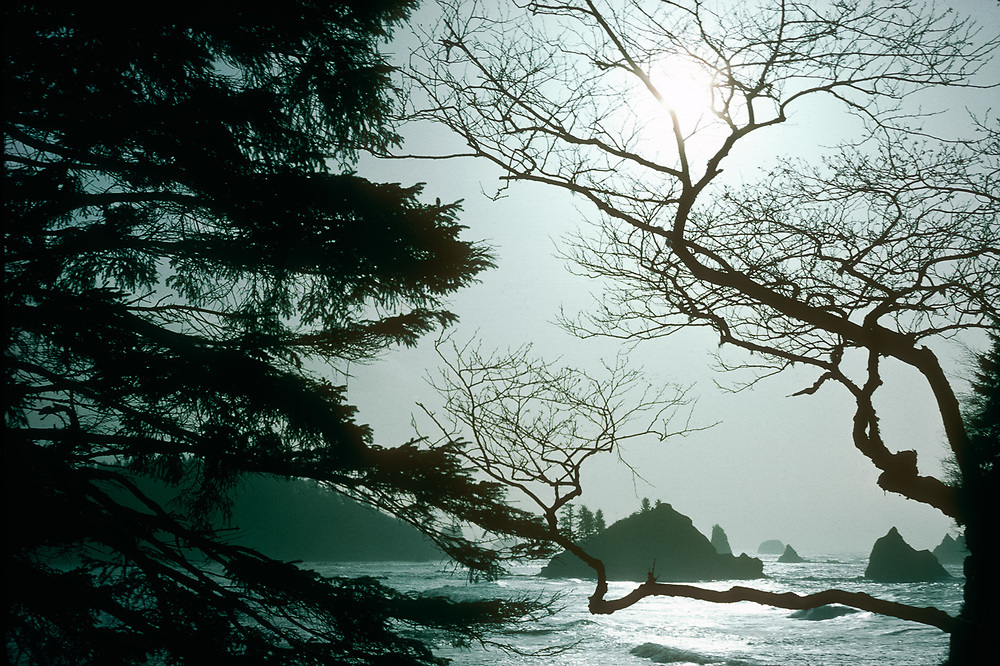 Pacific Ocean, red alder silhouette, fog, February, view from Taylor Point, Olympic National Park, Washington, USA