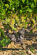 Grape vine, Preignac, Gironde region of France. The vineyard is in the grounds of the Chateau de Malle.