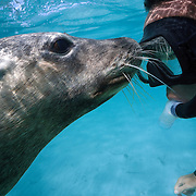 Self portrait with a friendly Australian sea lion (Neophoca cinerea)