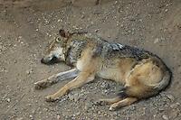 Mexican wolf, Canis lupus baileyi. Arizona-Sonora Desert Museum, Tucson, Arizona
