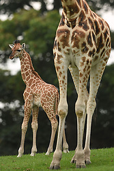 A five-week-old Rothschild's giraffe calf (left) explores its enclosure at West Midlands Safari Park in Bewdley, Worcestershire.