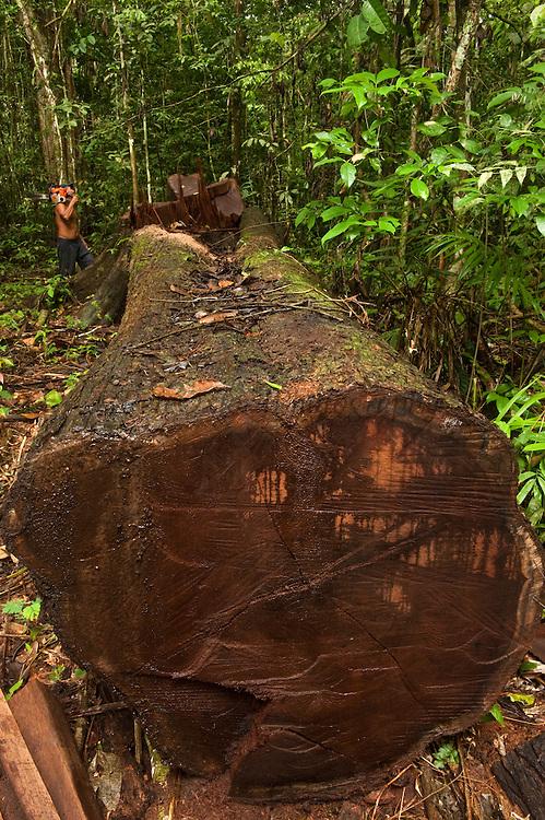 Amerindian Timber Harvest<br /> Mapari<br /> Rupununi<br /> GUYANA<br /> South America