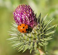 HALFWEG - lieveheersbeestje.  Zevenstippelig LieveheersbeestjeCoccinella septempunctata.  Wilde bloemen op de baan van de   Amsterdamse Golf Club   COPYRIGHT KOEN SUYK