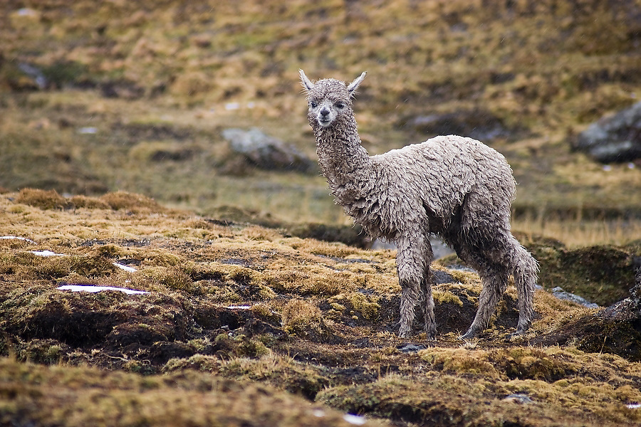 A young alpaca, herded by the traditional Q'eros people, stands on a bare hillside high in the Cordillera de Paucartambo, Andes Mountains, Peru on September 13, 2005.