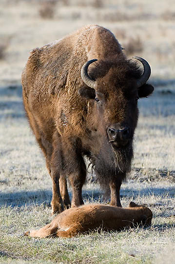 Bison (Bison bison) Mother with calf. Yellowstone National Park. Spring. April.