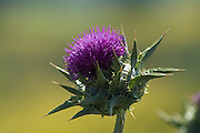 California Weed Milk Thistle