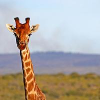 Africa, South Africa, Kwandwe. Maasai Giraffe in Kwandwe Game Reserve.