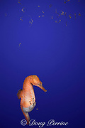 lined seahorse, spotted seahorse, northern seahorse, horsefish, or Atlantic sea horse ( Hippocampus erectus ) male giving birth ( expelling fry or baby seahorses from brood pouch )