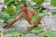 Local man collecting Indian, or Sacred Lotus flower stalks to eat, Nelumbo nucifera, East Lake Greenway park, Wuhan, Hubei, China