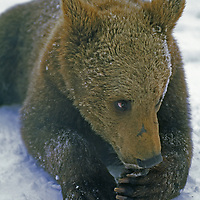A young captive brown bear near Zarnesti.