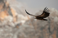"Himalayan griffon vulture, Gyps himalayensis, Angsai nature reserve, ""Valley of the Cats"", Sanjiangyuan National Nature Reserve, Tibetan Plateau, Qinghai, China"