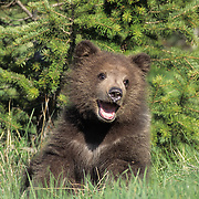 Grizzly Bear cub in southwest Montana. Captive Animal
