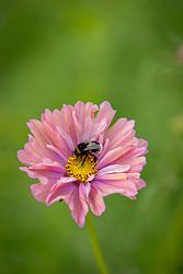 Bee on Cosmos Apricotta FSN sample Experimental