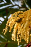Date palm tree, Waipio Valley, Big Island of Hawaii