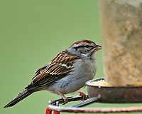 Chipping Sparrow. Image taken with a Nikon D850 camera and 600 mm f/4 VR lens