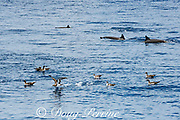 pink-footed shearwaters, Ardenna creatopus or Puffinus creatopus, and Eastern Pacific spinner dolphins, Stenella longirostris, offshore from southern Costa Rica, Central America ( Eastern Pacific Ocean ); the dolphins and birds feed on the same small prey fish, so they often travel together