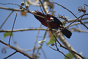 Crimson-breasted Gonolek (formerly Crimson-breasted Shrike) Laniarius atrococcineus, Photographed in Ethiopia, Amhara Region