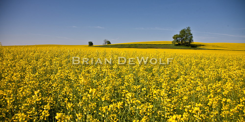 Flowering field of rape seed located south of Owensboro, Kentucky