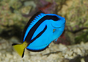 A Pacific blue tang or Palette surgeonfish or Regal tang (Paracanthurus hepatus) swimming in an aquarium at the King's Lynn Koi Centre Norfolk