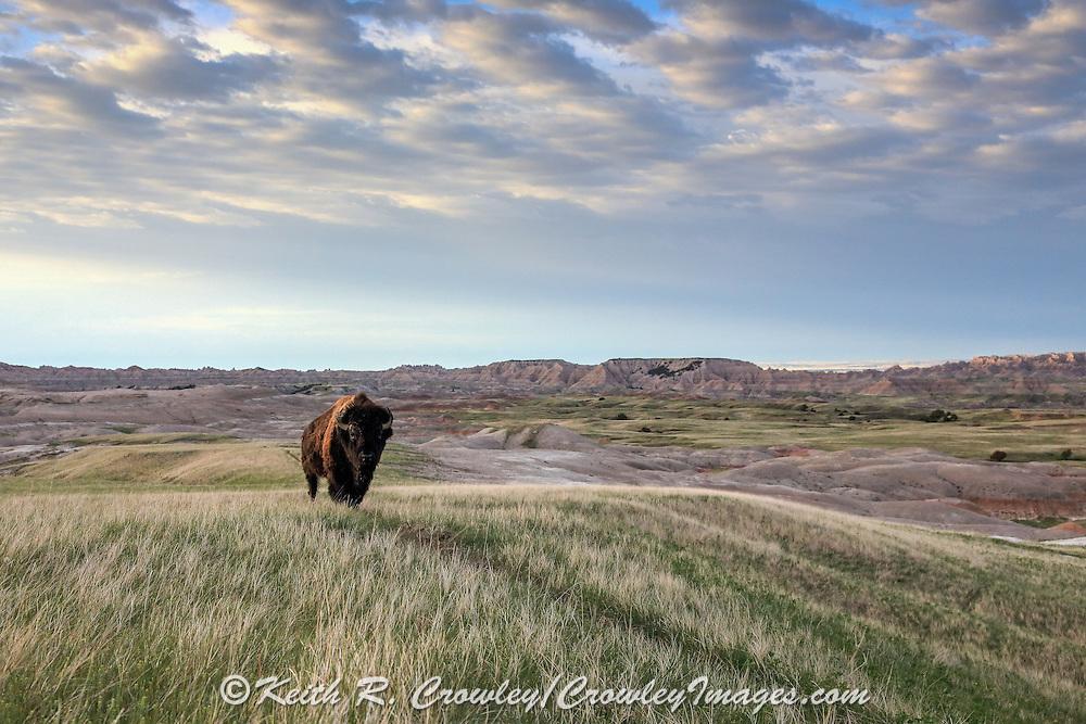 Bison (Buffalo) on Western Landscape
