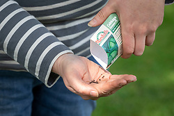 Emptying packet of cabbage seed into hand ready to sow