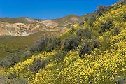 Goldfields (Lasthenia californica) in the Temblor Range, Carrizo Plain National Monument, California
