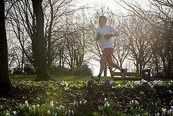 © Licensed to London News Pictures . 27/02/2014 . Buile Hill Park , Salford , UK .  A jogger passes hundreds of freshly sprung crocus bulbs . Glorious spring sunshine in Buile Hill Park this afternoon (Thursday 27th February 2014) as weather is predicted to take a colder turn . Photo credit : Joel Goodman/LNP