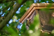 Blue-tit feeding insect to young in nest-box