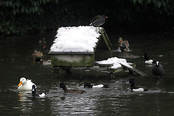 © Licensed to London News Pictures. 19/01/2013, London, UK.  Wild fowls surround a snow covered hut at Waddon Pond in Croydon, South London, Saturday, Jan. 19, 2013. More cold weather and snow are expected over the coming days. Photo credit : Sang Tan/LNP