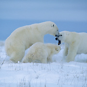 A female polar bear charges an intruding male and her cub follows suit.