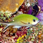 Brown Chromis inhabit reefs and adjacet rubble areas feel in open water above in Tropical West Atlantic; picture taken Little Cayman.