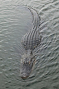 An American alligator (Alligator mississippiensis) swims toward the observer along the Anhinga Trail in the Everglades National Park, Florida. This is the largest of the two species of alligators, and is native only to the wetlands of the Southeastern United States. The raised bumps on its back are used to store heat..