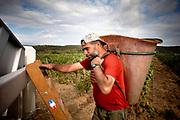 PAZIOLS (FRANCIA). Aurelio Hinojosa empezó a trabajar en el campo a los siete años. .Ahora tiene 53 y la espalda curtida de soportar el peso de la cubeta cargada de uvas, que una vez llena vaciará en el remolque del tractor. Poco a poco, va relevando este trabajo, reservado a los hombres más fuertes de la cuadrilla, a su hijo Aurelio, que tiene 26 años.