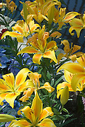 Yellow lilies. Marjorie McNeely Conservatory at Como Park St Paul Minnesota USA