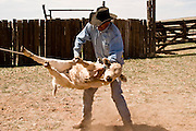 07 MAY  2004 -- WILLIAMS, AZ:  A cowboy throws a calf to the ground before branding it in a corral  on the Willaha Ranch, north of Williams, AZ, May 7, 2004. The ranch is in the high desert country near the south rim of the Grand Canyon. The ranch is in the high desert country near the south rim of the Grand Canyon. Arizona ranchers are in the midst of a ten year draught that has dramatically reduced the size of their herds. At the same time, public consumption of beef has soared because of the popularity of the Atkins and other high protein diets, so while prices are up, herd yields are down because of the drought.       PHOTO BY JACK KURTZ