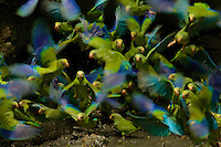 Cobalt-winged Parakeets (Brotogeris cyanoptera) eating clay at clay lick east of Anangu and south of the Napo River, Yasuni National Park, Orellana Province, Ecuador