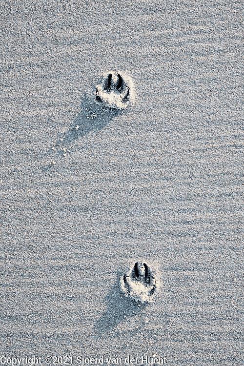 Sporen van voetstappen van een hond op het strand   Traces of a dog's footsteps on the beach
