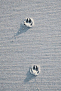 Sporen van voetstappen van een hond op het strand | Traces of a dog's footsteps on the beach