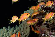 jewel fairy basslets or lyretail anthias, Pseudanthias squamipinnis, female, Similan Islands, Thailand ( Indian Ocean - Andaman Sea )