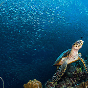 A hawksbill sea turtle (Eretmochelys imbricata) feeds on sponges along a coral wall off Moalboal, Philippines with sardines (Clupeidae) in the background.
