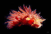 """Nudibranchs are soft-bodied marine mollusks which shed their shells after their larval stage.  The word """"nudibranch"""" comes from the Latin nudus """"naked"""" and the Ancient Greek βράγχια """"gills"""".  Nudibranchs are often informally called sea slugs, <br /> <br /> All known nudibranchs are carnivorous with some feeding on sponges, hydroids, bryozoans, tunicates, barnacles, anemones, other sea slugs, sea slug eggs, or even their own species.  During evolution, nudibranchs lost their shells and developed alternative defense mechanisms. Some evolved to be well camouflaged, while others as seen here have intensely bright color patterns. Some sponge-eating nudibranchs concentrate the chemical defenses of the sponges in their bodies, rendering themselves distasteful to predators. Certain species produce their own protective chemicals, or release an acid mucus from the skin if physically touched.  <br /> <br /> Some nudibranchs that feed on prey which protect themselves with stinging cells called """"nematocysts"""" can pass the intact nematocysts through their gut without harming the nudibranch or triggering the nematocysts.  The cells are then brought to the tips of the creature's """"gills"""" (cerata).  The colors within the cerata are extensions of the digestive tract, often with a whitish tip where the nematocysts are concentrated, which now protect the nudibranch itself.<br /> <br /> Nudibranchs are hermaphroditic but cannot fertilize themselves. They typically deposit eggs within a gelatinous spiral resembling a ribbon. The number of eggs varies from 1 egg to 25 million!   The nudibranch lifespan ranges from a few weeks to a year depending on the species.<br /> <br /> The nudibranch (Flabellina salmonacea) pictured here is crawling on dulce (Palmaria palmata), an edible alga.  This nudibranch grows to 3.8 cm (1.5 in) with cerata that are colored either brown or orange depending on their prey. The orange color in this case results from a diet consisting of Goniactinia anemones. The whi"""