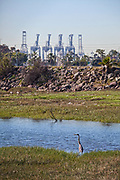 Great Blue Heron, Golden Shore Marine Biological Reserve Park, Los Angeles river, Long Beach, California, USA