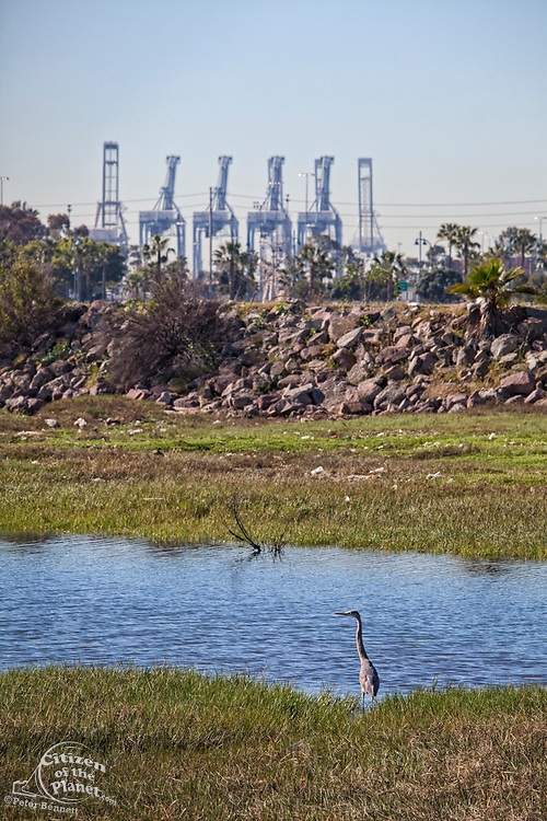 Great Blue Heron, Golden Shore Marine Biological Reserve Park, Los Angeles river, Long Beach, California, USA