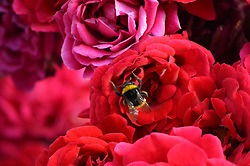June 15, 2017 - Ankara, Turkey - A bee is seen in a red rose at a public garden during summer time in Ankara, Turkey on June 15, 2017. (Credit Image: © Altan Gocher/NurPhoto via ZUMA Press)