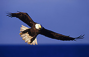 Alaska-native-Randy-Wells-travel-photographer, Image of a bald eagle in flight on the Kenai Peninsula, Alaska, the bald eagle is a bird of prey and national bird and symbol of the United States of America by Randy Wells