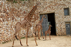Adis, a three-week-old male South African giraffe calf, stands near his mother and his grandmother at the Jerusalem Biblical zoo on April 10, 2016. EXPA Pictures © 2016, PhotoCredit: EXPA/ Photoshot/ Gil Cohen Magen<br /> <br /> *****ATTENTION - for AUT, SLO, CRO, SRB, BIH, MAZ, SUI only*****
