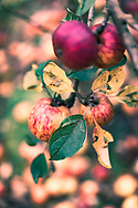 Ripe apples laying on the ground under rows of apple trees in Herefordshire in England in autumn