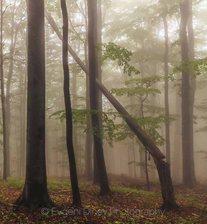 Misty beech forest at spring time