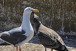 Immature Glaucous Gull Asking Adult For Food