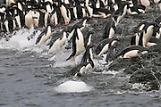 Making it back to safety Adelie penguins jumping onto the rocks.